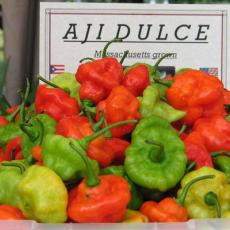 Aji dulce grown at UMass Reserach and Education Center