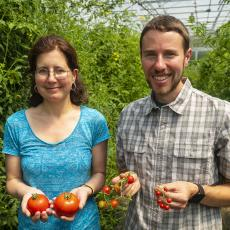 Ana Caicedo and Jacob Barnett harvest ripe tomatoes from high tunnel in South Deerfield