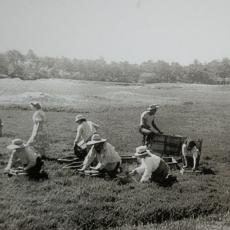Harvesting cranberries by hand early 20th century, Carver, Mass