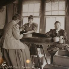 Screening cranberries, early 20th century, Carver, Mass