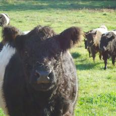 Belted Galloway: Up close and personal