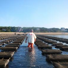 A shellfish grower surveys his cages filled with oysters Crassostrea virginica as the tide goes out in Wellfleet Harbor. Photo credit Rebecca Westgate