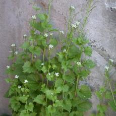 Garlic mustard a relativelt new weed that is edging out native plants