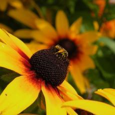 Native bee on Rudbeckia