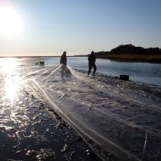 Shellfish growers stretch a protective net over a newly planted bed of quahogs, Mercenaria mercenaria out on the tidal flats of Cape Cod Bay. Photo credit Rebecca Westgate