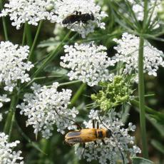 Beneficial insects (wasp and goldenrod soldier beetle) visit Queen Anne's lace flowers nearby brassica plants. They are attracted to and prey on pests, reducing the need for chemicals.