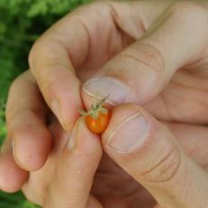 Fully ripe small wild tomato