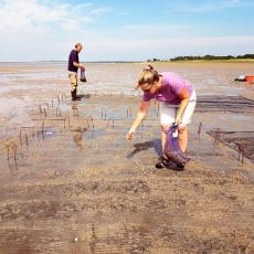 Extension agents with Cape Cod Cooperative Extension plant surf clams Spisula solidissima in the tidal flats of Barnstable Harbor as part of an experiment to compare different growing methods. Photo credit Rebecca Westgate