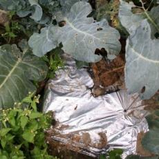Reflective silver plastic mulch keeps soil cool and also wards off damaging pests