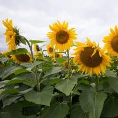 Sunflowers at Agricultural Learning Center, UMass Amherst. John Solem photo credit