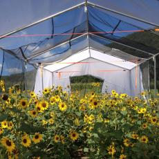 Sunflowers in research tent, UMass Crop and Animal Research and Education Farm, South Deerfield