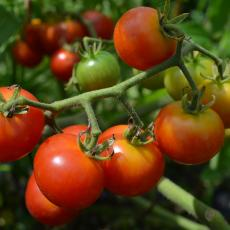 Tomato varieties breed to have improved yields, disease resistance and other hearty features