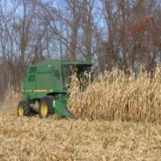 Corn fuel being harvested at 5-Point Farm
