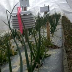 Onions growing in low tunnel