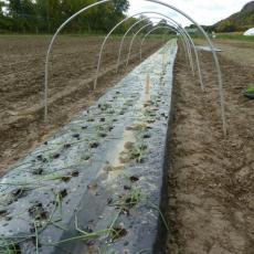Planting onions in low tunnel