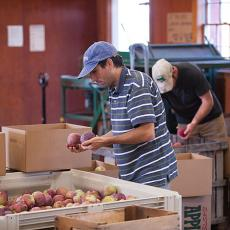Undergraduate at Umass grading apples at Apples at Cold Spring Orchard Research and Education Center in Belchertown
