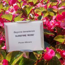 Begonia-Surefire Rose