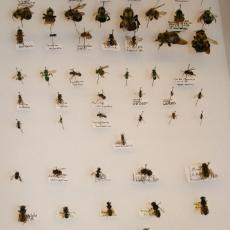 Diverse bee populations in New England