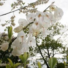 Carolina silverbells