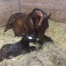 """Alessandra Q with her foal Stockbridge Sonnet UM nicknamed """"Levi"""""""