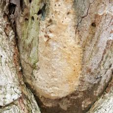 One of many gypsy moth egg masses that have overwintered from 2016 located in Monson, Mass. on 4/19/2017. Eggs had not yet begun to hatch as of that date in that location. (Simisky, 2017)