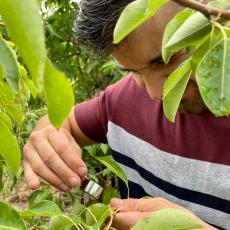Scouting for pear psylla with hand lens