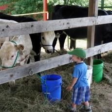 Future 4-H-er admires bovines
