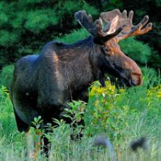 Moose.Photo credit Bill Byrne