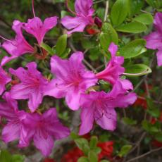 Azalea in bloom