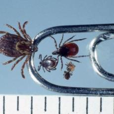 (On paper clip) Adult female American dog tick; (Inside paper clip L-R) Adult male, adult female, 2 nymph deer ticks. (Photo: James Occi, MA, MS)