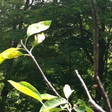 Serviceberry plant
