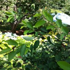 Damaged Serviceberry plant