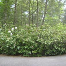 Wilting rhododendron bushes
