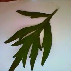 Possible mugwort weed