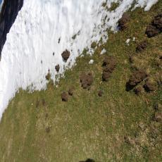 Mole damage on lawn
