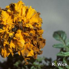 Alternaria Leaf Spot and Flower Blight on African marigolds