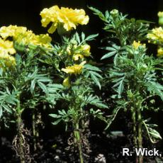 Alternaria Blight on marigold