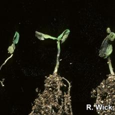 Alternaria Blight on zinnia seedlings