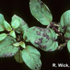 Bacterial leaf spot on Fuchsia