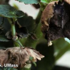 Foliar nematode injury on Begonia (Aphelenchoides species)