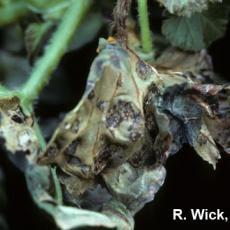 Bacterial leaf spot on Begonia (Xanthomonas campestris pv. begoniae)