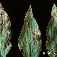 Leaf spot on Hosta caused by Botrytis cinera