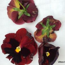 Botrytis on pansy blossoms