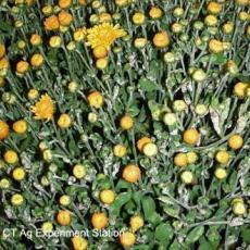Chrysanthemum White Rust (Puccinia horiana)