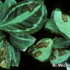 Calathea – Pseudomonas Leaf Spot