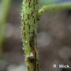 Cleome - Alternaria Stem Blight