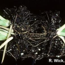 Spathiphyllum - Cylindrocladium Root and Crown Rot