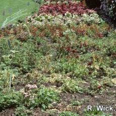 Dianthus (Field) – Rhizoctonia crown rot