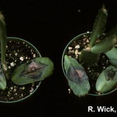 Schlumbergera - Drechslera Leaf Spot and Stem Rot