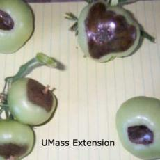Blossom-end rot on greenhouse tomatoes